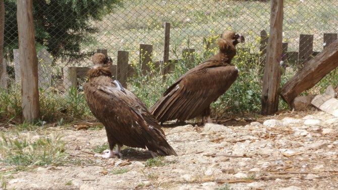 Tedavileri tamamlanan Kara Akbabalar doğaya salıverildi