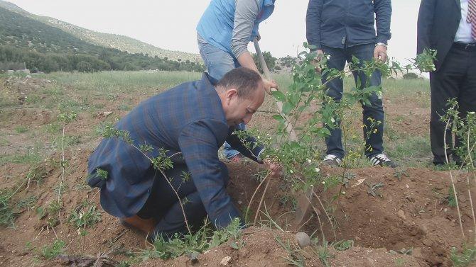 Burdur'da şakayık dikimi yapıldı