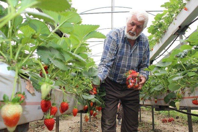 Topraksız Yetişen Organik Çileklere Büyük İlgi
