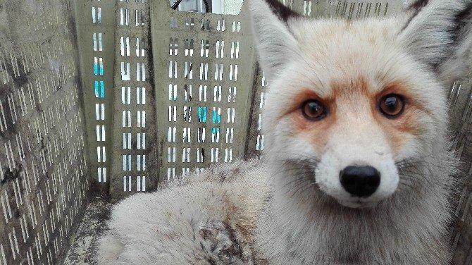 Aşırı soğuktan kısmi felç geçiren tilki tedavi altına alındı