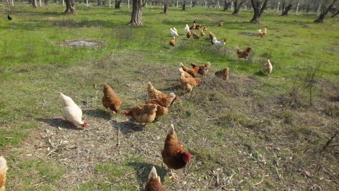 Gezen tavuk yumurtalarına büyük ilgi