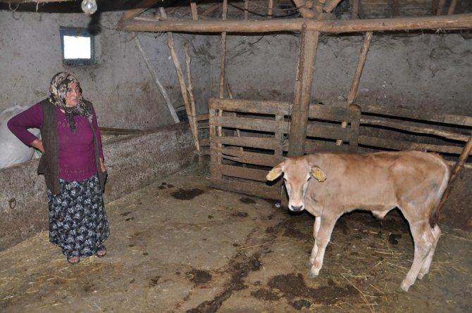 Yaşlı kadının tek geçim kaynağı hayvanlarını çaldılar