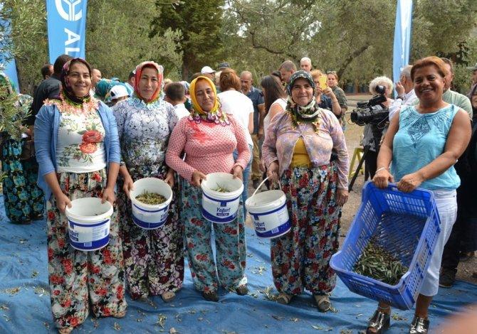 Zeytin toplayıcıları 'altın' için yarıştı