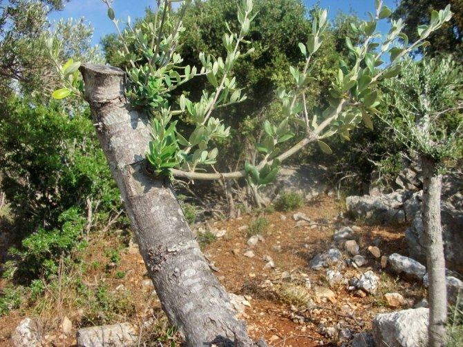 Yabani zeytin ağaçlarını aşılanıyor