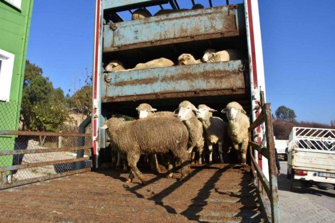Pazarlar'da 4 çiftçiye 148 adet damızlık koyun