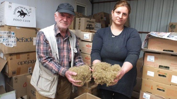 Burhaniye stevia üretim merkezi oldu