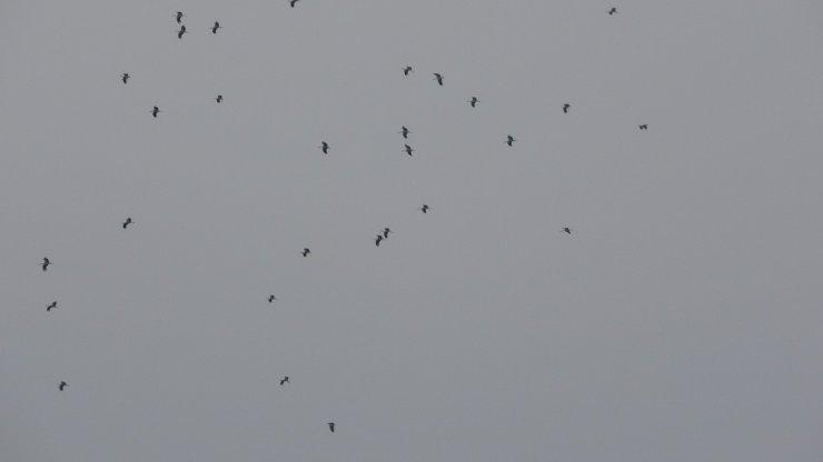 Bolu'da göç eden yüzlerce leylek bir arada görüntülendi