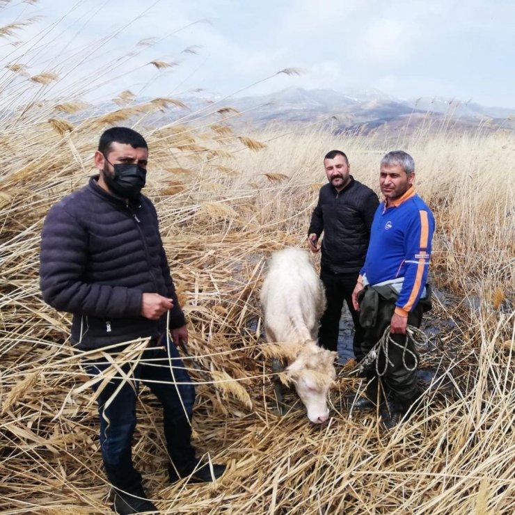 Sazlık alanda mahsur kalan büyükbaş hayvanlar kurtarıldı