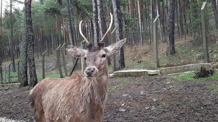 Eskişehir'den Kahramanmaraş'a 5 kızıl geyik gönderildi