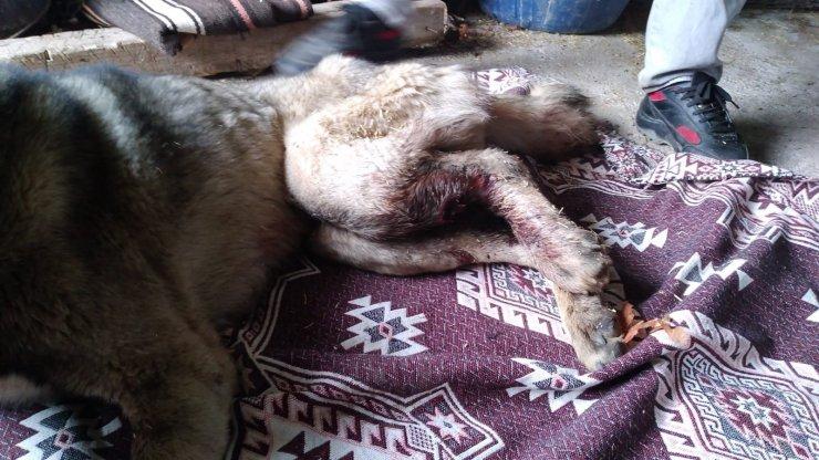 Gaziantep'te çoban köpeğini av tüfeğiyle vurdular
