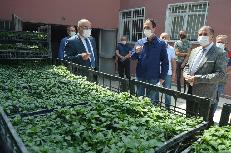 Niksar'da çiftçilere 24 bin 576 biber fidesi dağıtıldı