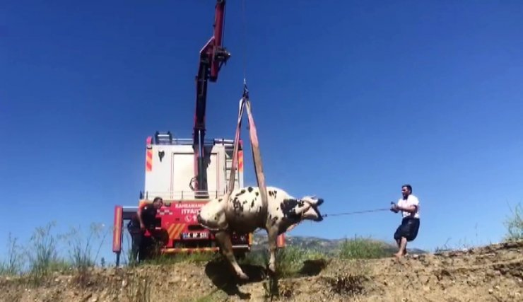 Bataklığa saplanan inek vinç ile kurtarıldı