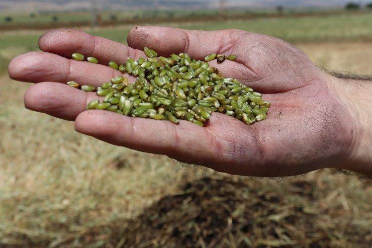Orta Doğu ülkelerinin tutkusu firikte hasat başladı