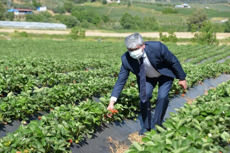 Yayladağı çileğinin yüzde 80'i ihraç ediliyor
