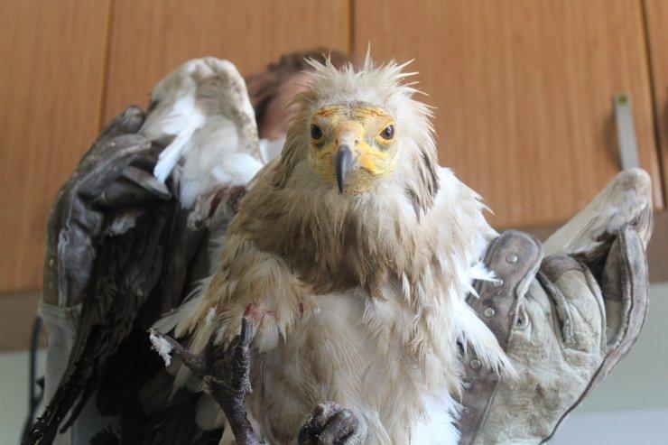 Yaralı 'Mısır Akbabası' tedavi altına alındı, bir daha uçamayacak