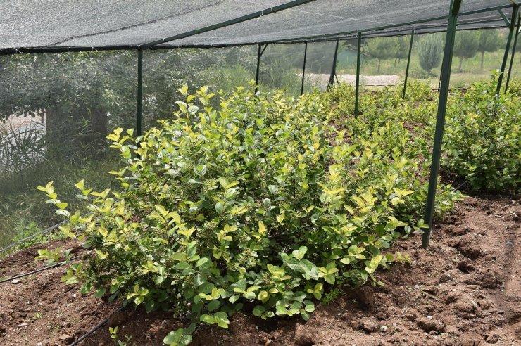 Üreticilere aronia meyvesi için teknik destek