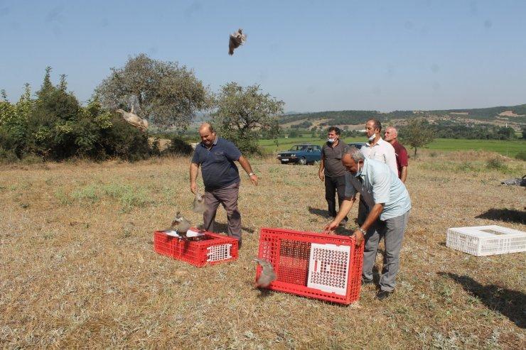 Manyas'ta Kınalı keklikler doğaya salındı