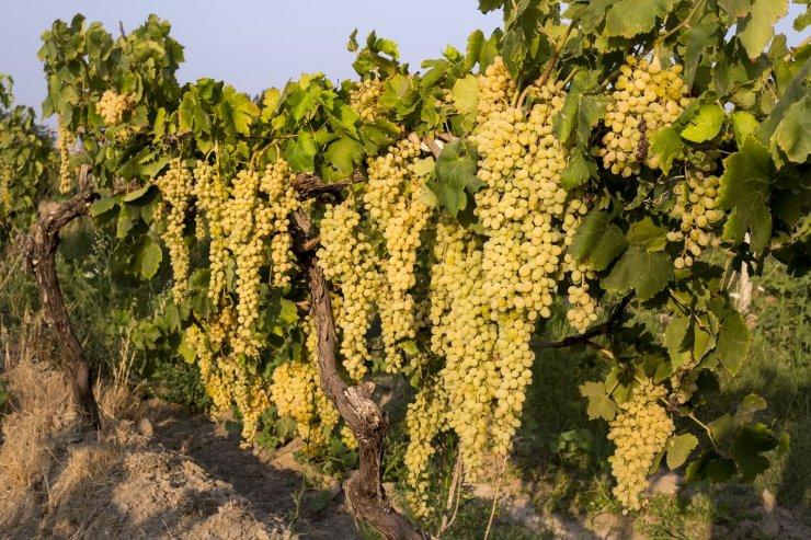 Türkiye'nin taze üzüm ihracatının yüzde 73'ü çekirdeksiz sofralık sultani üzümden