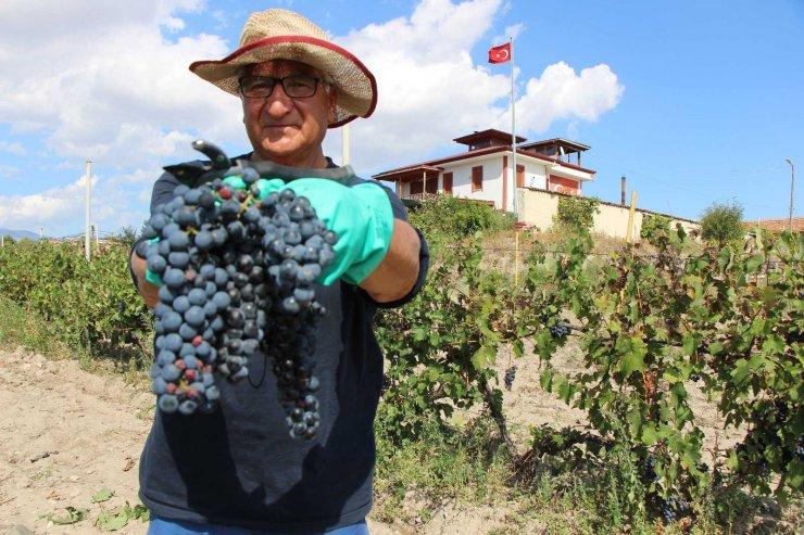 İtalya vatandaşı Merzifonlu muhtar 'Merzifon karası' üzümünü anavatanına geri getirdi