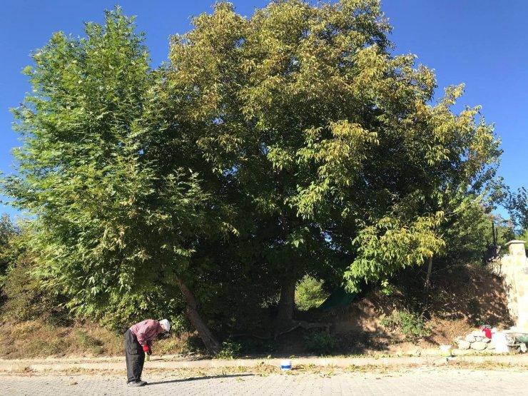 Erzincan'da köylülerin zorlu ceviz hasadı başladı