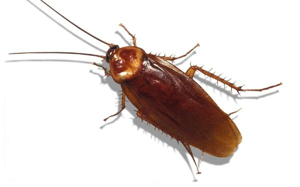 hamam-böceği.jpg