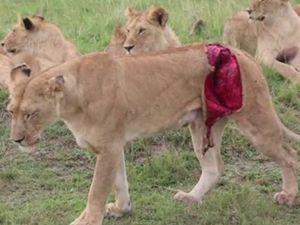 Bufalo tarafindan parçalanan aslana yardım eli