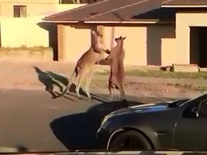 Kangurular sokak ortasında birbirine girdi