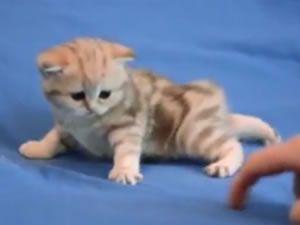 Kediler gıdıklanır mı?