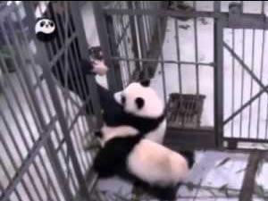 Panda ile bakıcısının zor anları